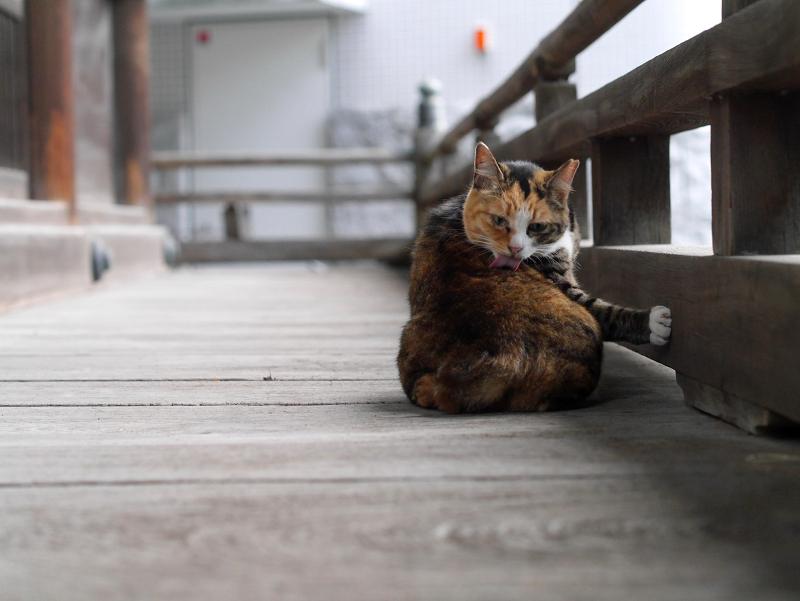 濡れ縁で毛づくろいしてる猫2