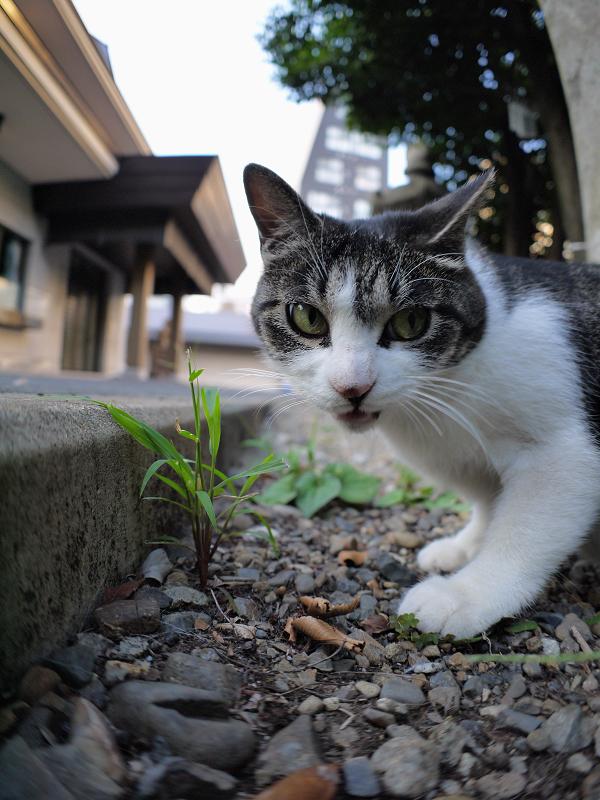 草を食べてるキジ白猫2
