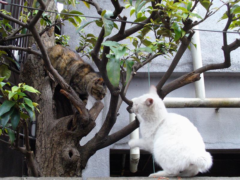 白猫とキジトラの猫1
