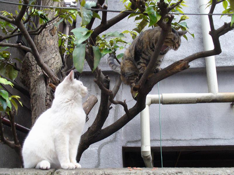 白猫とキジトラの猫3