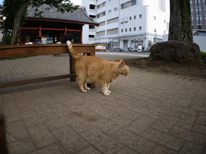 境内の茶トラ猫