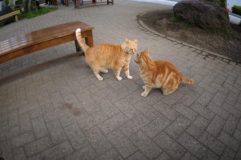 茶トラ猫とアメショー風猫