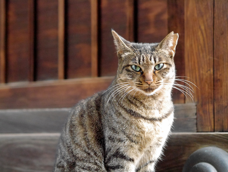 濡れ縁でアクビ全開のキジトラ猫3