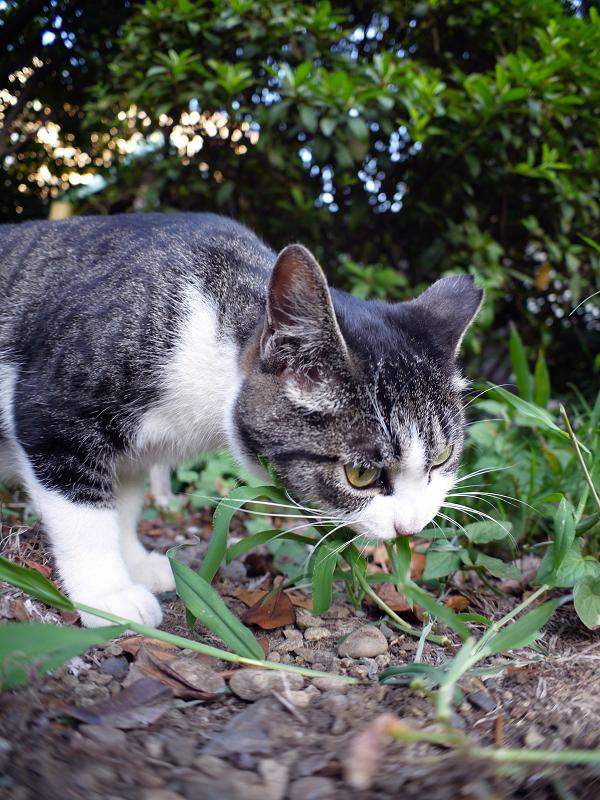 草をムシャムシャしてるキジ白猫1