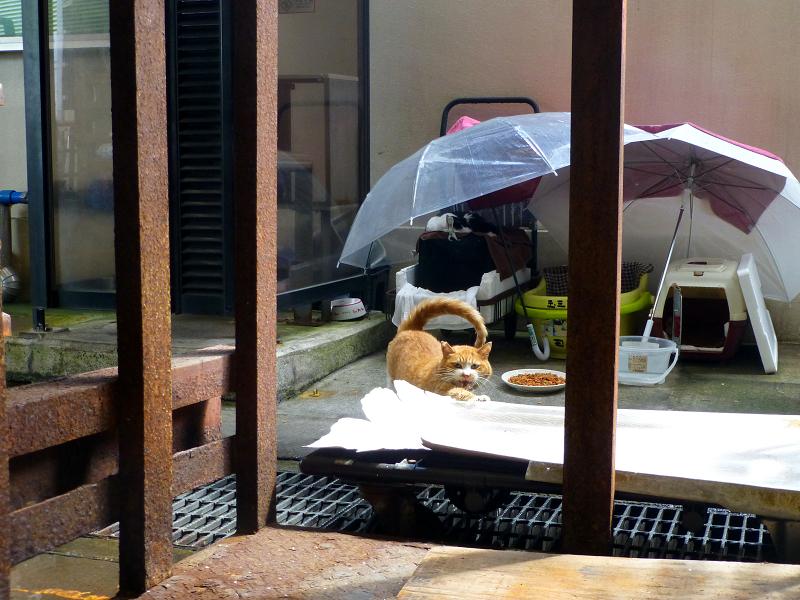 ハウスから出て近寄って来た茶白猫1