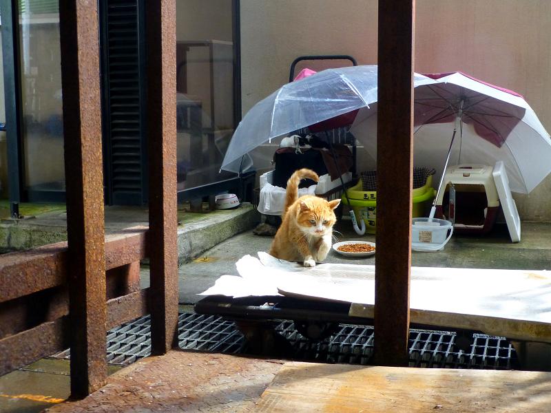 ハウスから出て近寄って来た茶白猫2