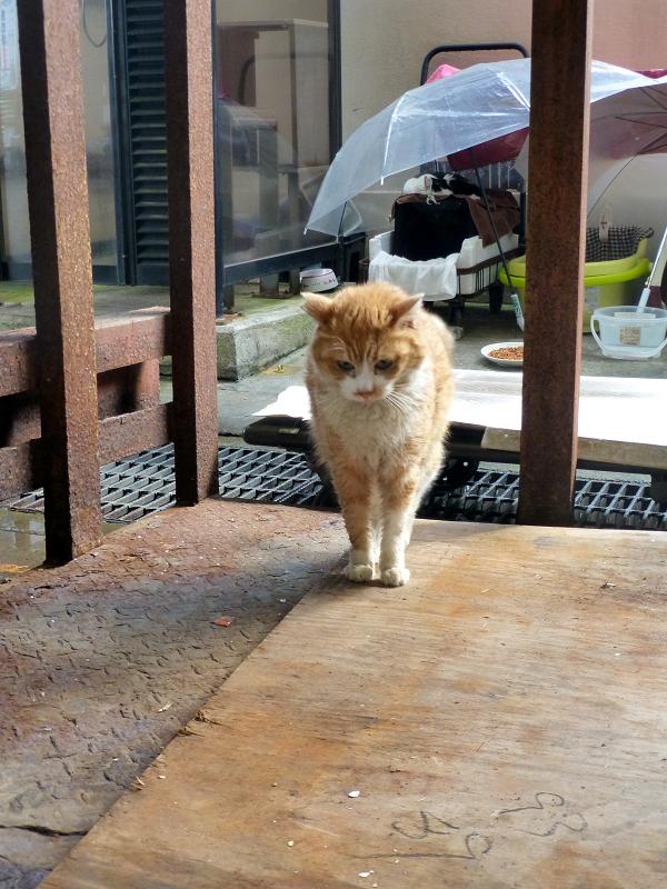 ハウスから出て近寄って来た茶白猫3