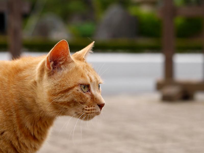 茶トラ猫の横顔1