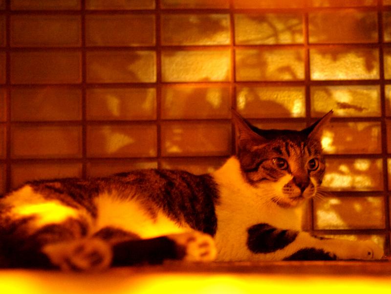 燃えるような雰囲気とキジ白猫1