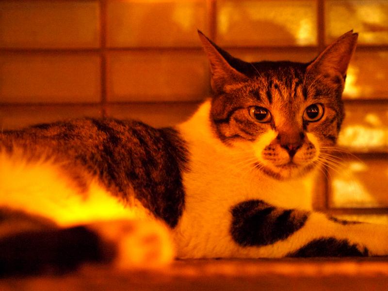 燃えるような雰囲気とキジ白猫2