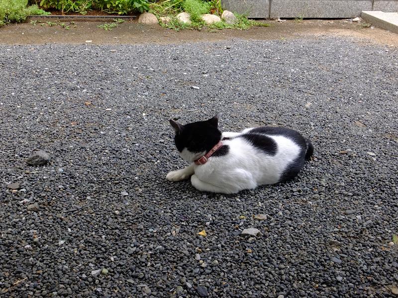 不満顔の白黒猫3
