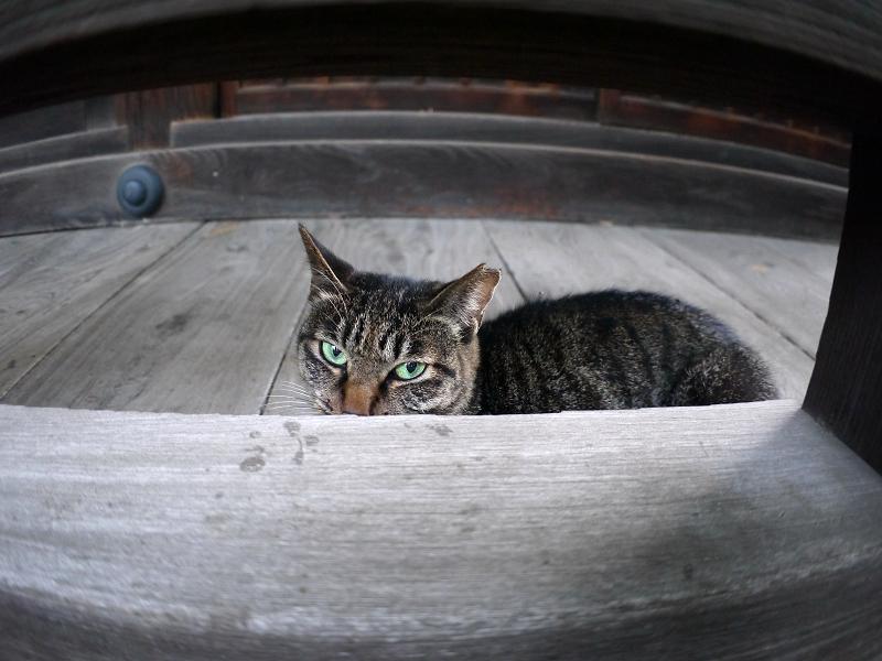欄干から見ているキジトラ猫1