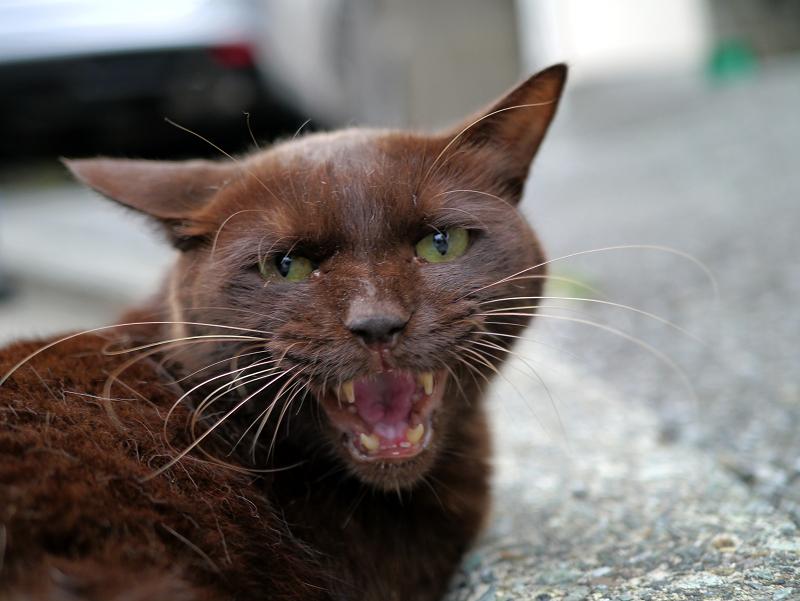 怒ってる風の焦げ茶色猫2