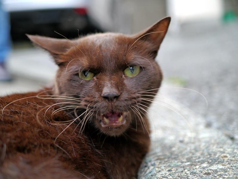 怒ってる風の焦げ茶色猫3