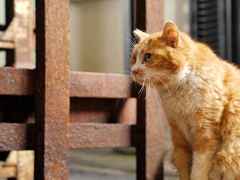 じっと見つめる茶白猫1
