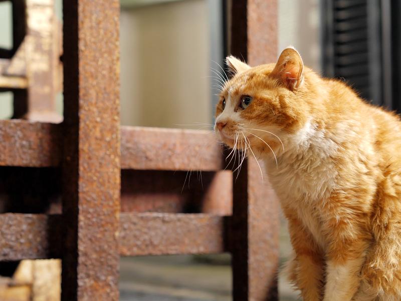 じっと見つめる茶白猫2