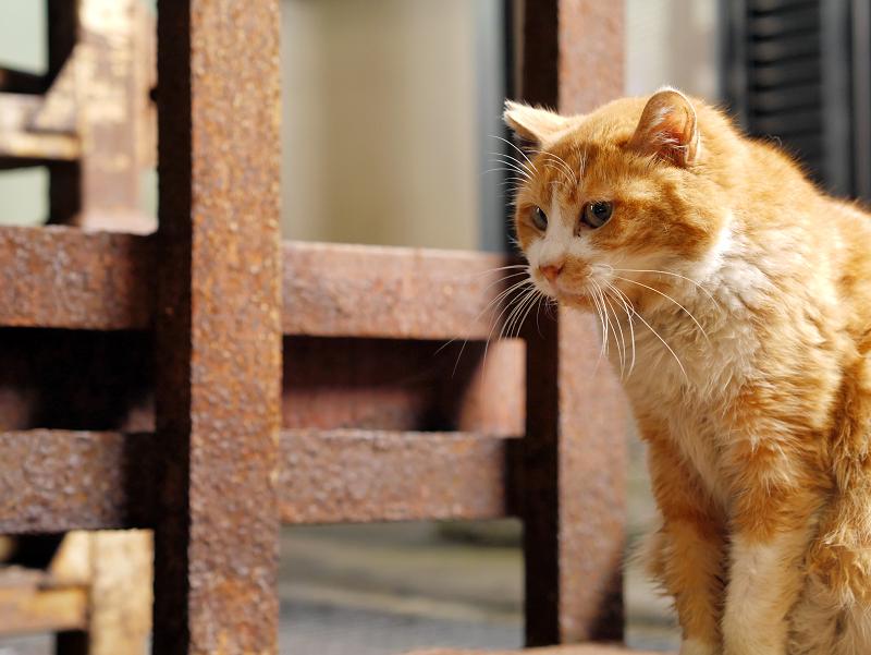 じっと見つめる茶白猫3