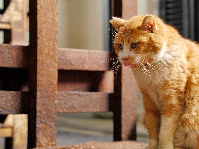 じっと見つめる茶白猫4