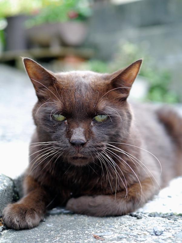 焦げ茶色猫の視線1