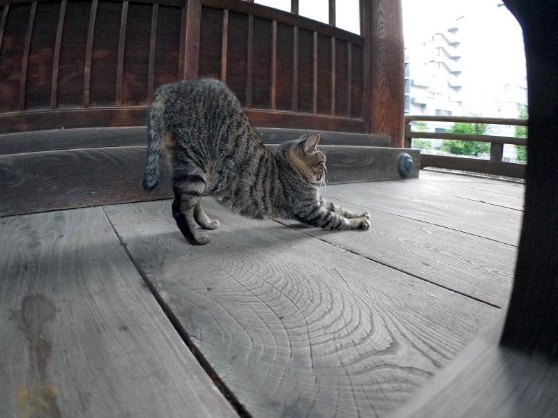 濡れ縁で伸びをするキジトラ猫1