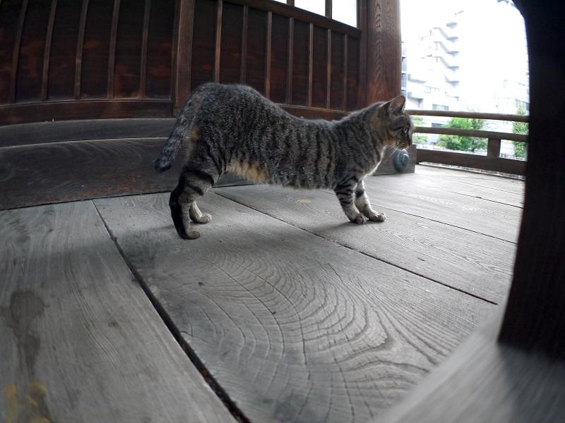 濡れ縁で伸びをするキジトラ猫2
