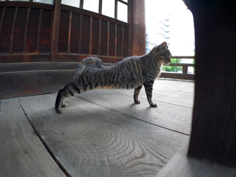 濡れ縁で伸びをするキジトラ猫3