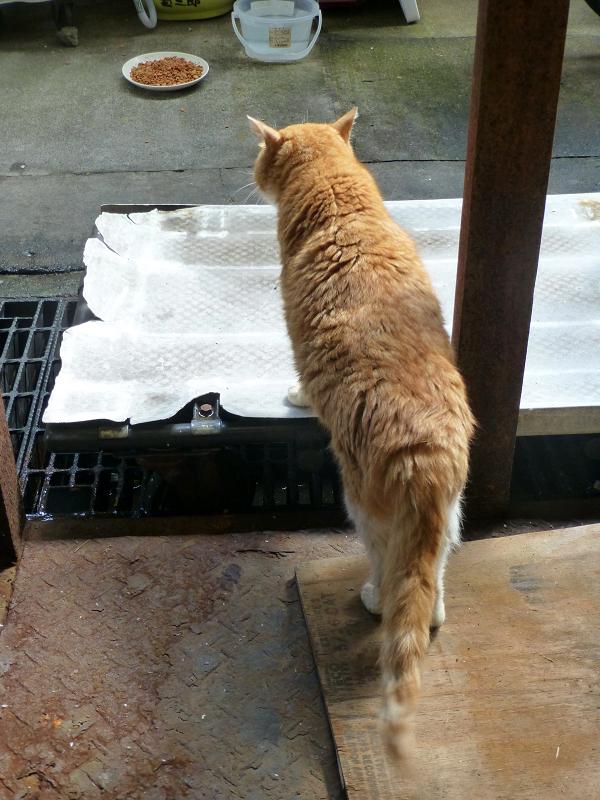 漁港で暮らしてる茶白猫