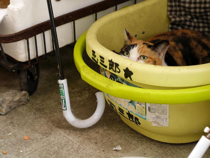 漁港で暮らしてる三毛猫
