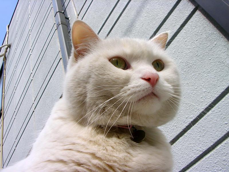塀の白くて大きな猫3