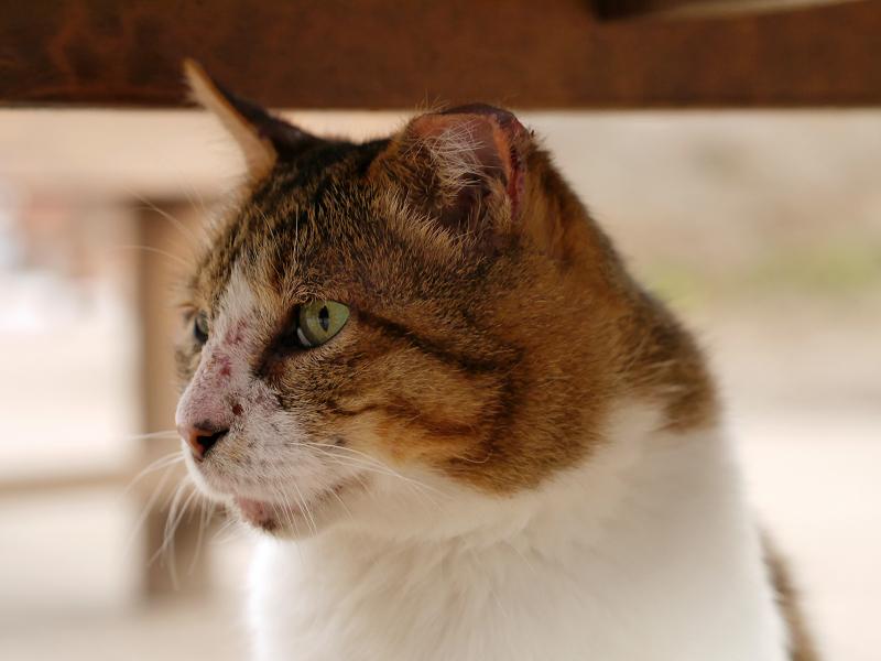 キジ白のでかい猫1