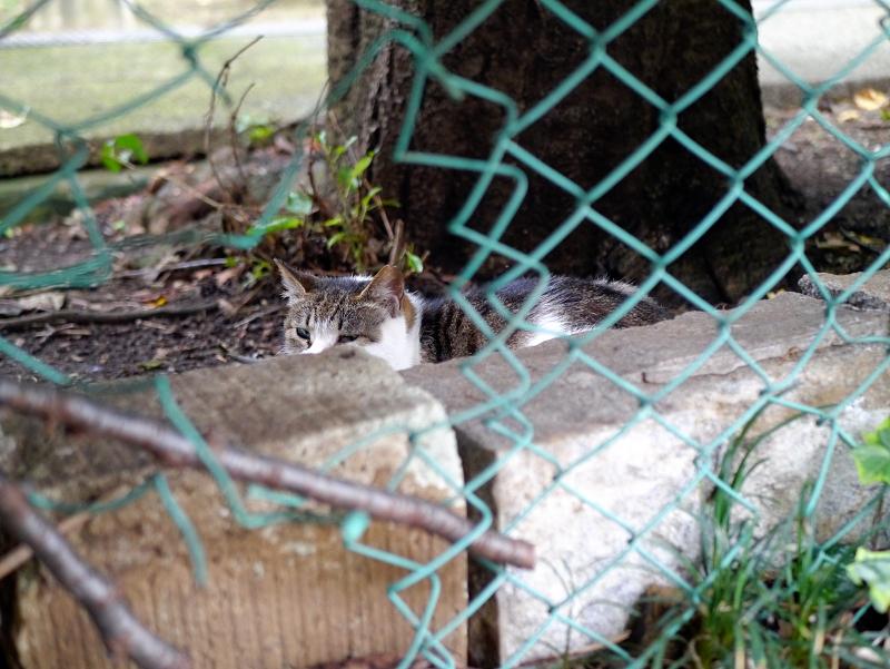 金網の向こう側のキジ白猫