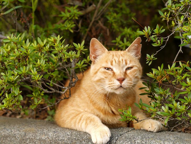 茂みと縁石と茶トラ猫1