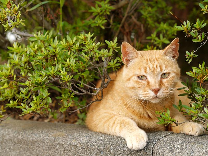 茂みと縁石と茶トラ猫2