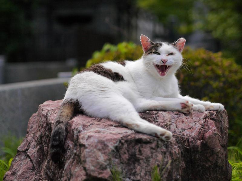 岩ステージの白キジ猫3
