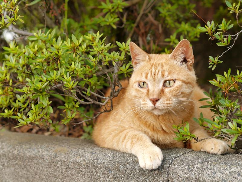 茂みと縁石と茶トラ猫3