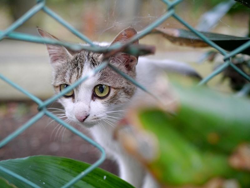 金網の向こうのキジ白猫1