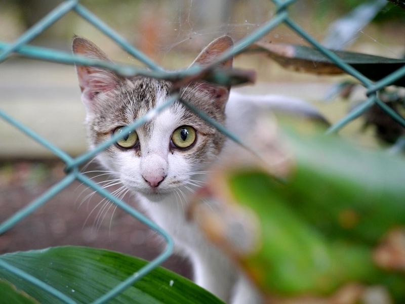 金網の向こうのキジ白猫2