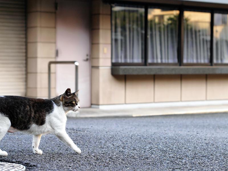 神社境内を歩くキジ白猫1