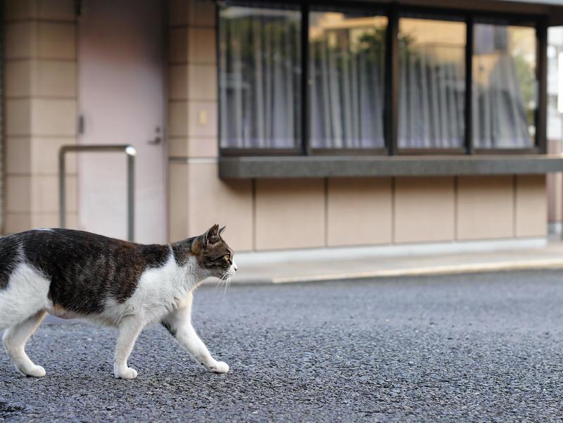 神社境内を歩くキジ白猫2