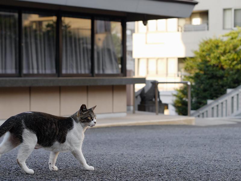 神社境内を歩くキジ白猫3