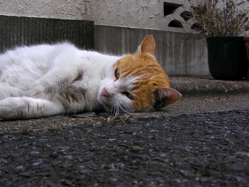 路地で転がった茶白猫1