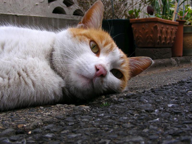 路地で転がった茶白猫2