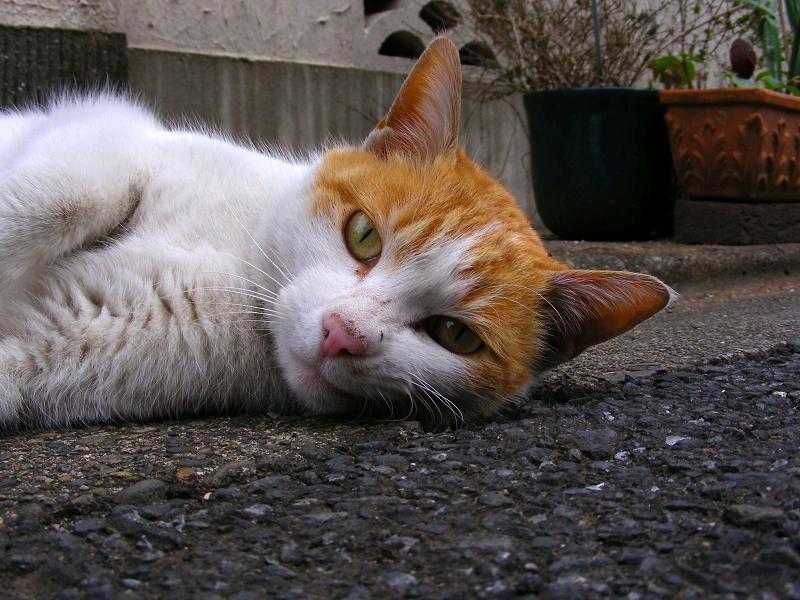路地で転がった茶白猫3