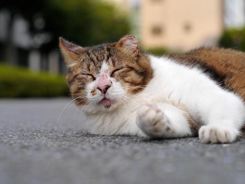 寝転がってるキジ白猫1