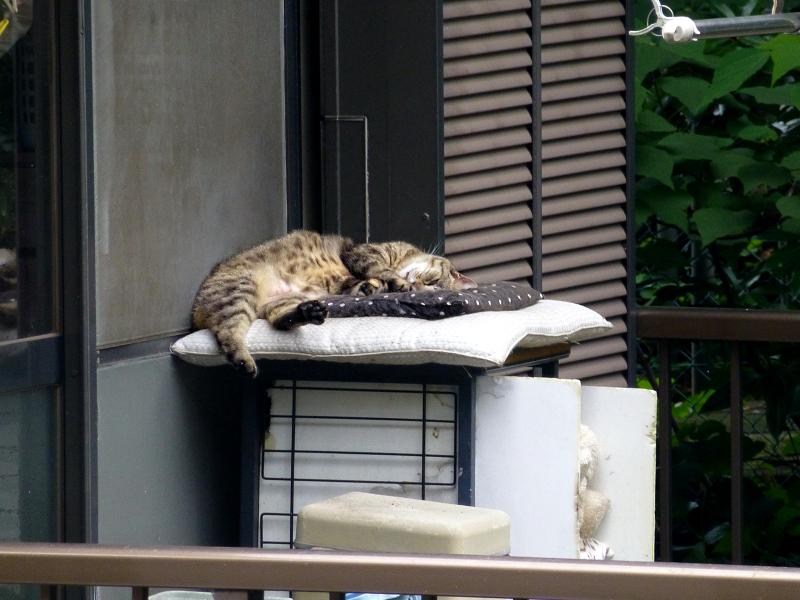 民家ベランダのキジトラ猫1