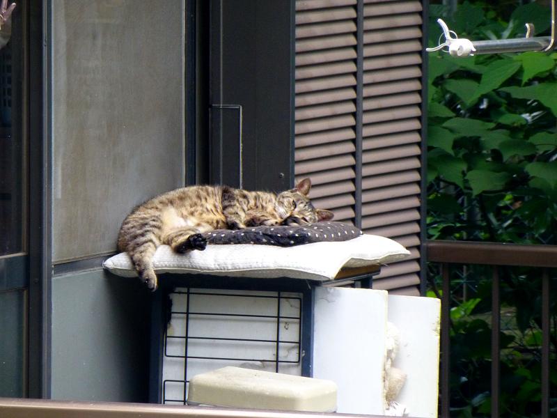 民家ベランダのキジトラ猫2
