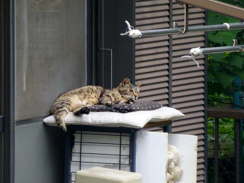 民家ベランダのキジトラ猫3