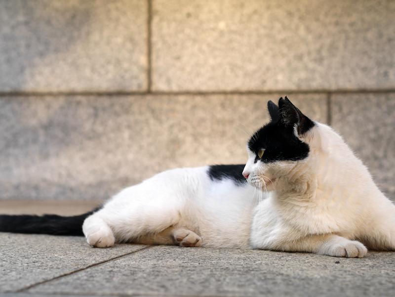 腹這う白黒猫1