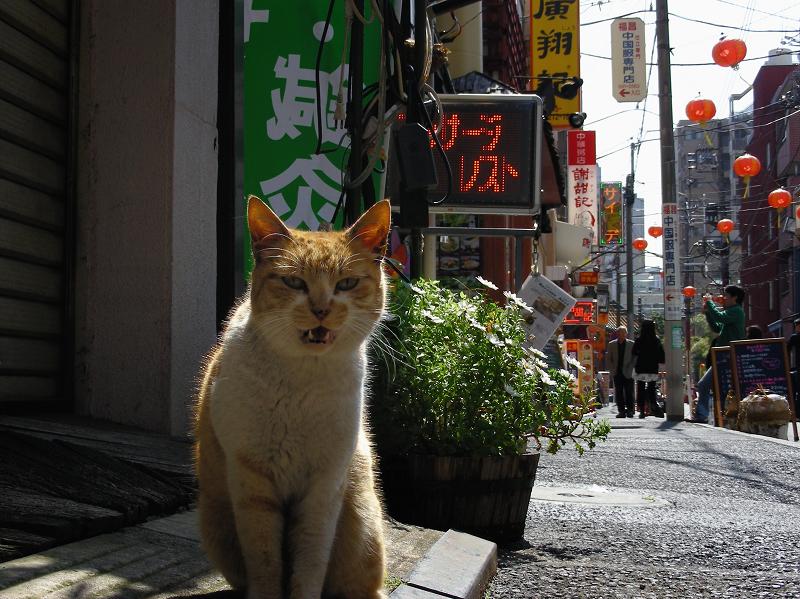 繁華街店前の茶トラ猫3