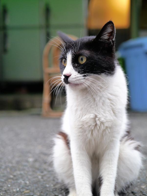 裏路地の黒白猫の立ち姿1